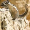 Chipmunk at Bryce Canyon.jpg